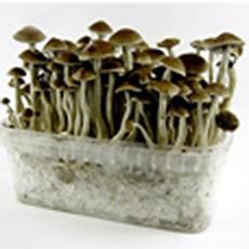 Des champignons magiques contre la dépression